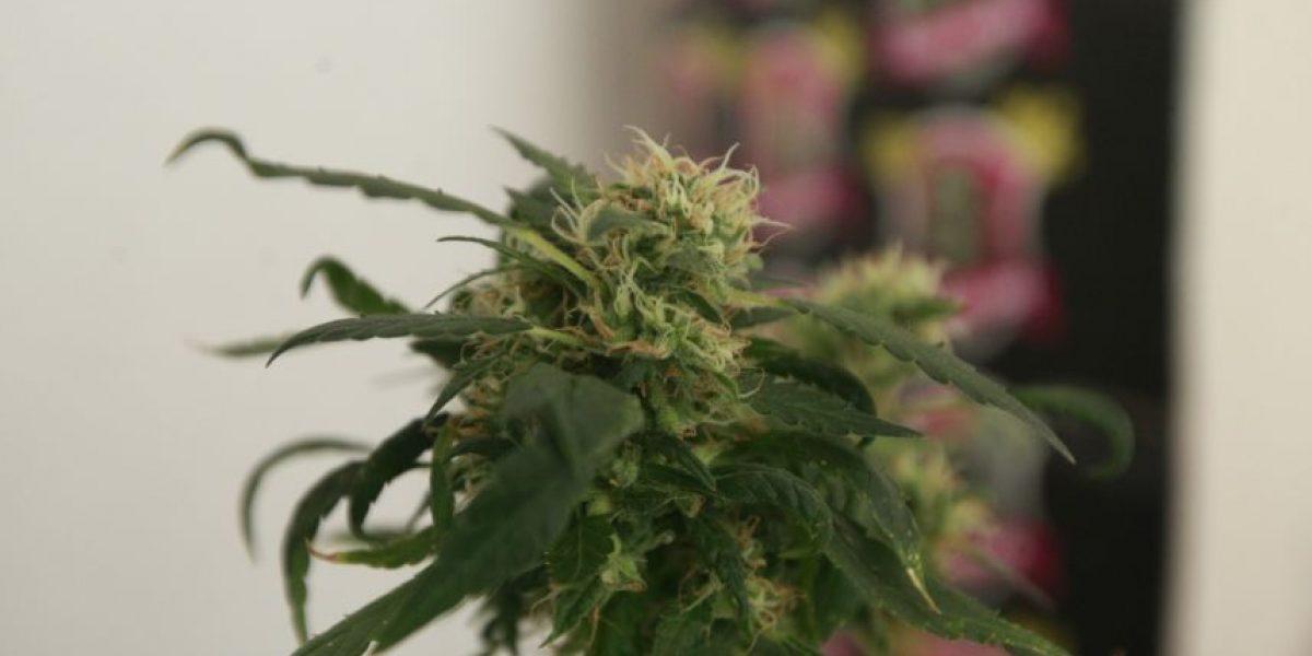 Presentan instructivo para acreditar uso medicinal de cannabis ante procedimientos policiales