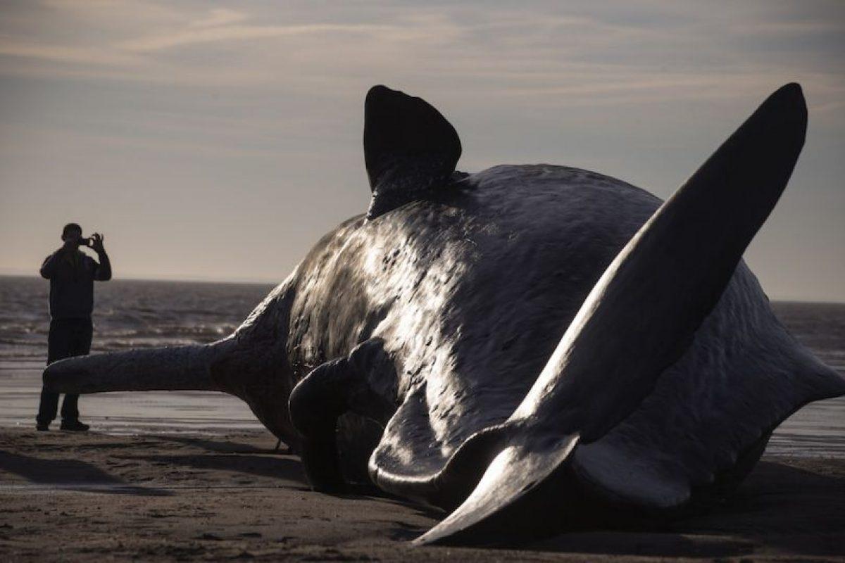 Una teoría muy extendida es que el fluido, que se endurece en forma de cera cuando se enfría, ayuda a la ballena a modificar su flotabilidad para sumergirse a gran profundidad y volver a subir. Foto:Getty Images. Imagen Por: