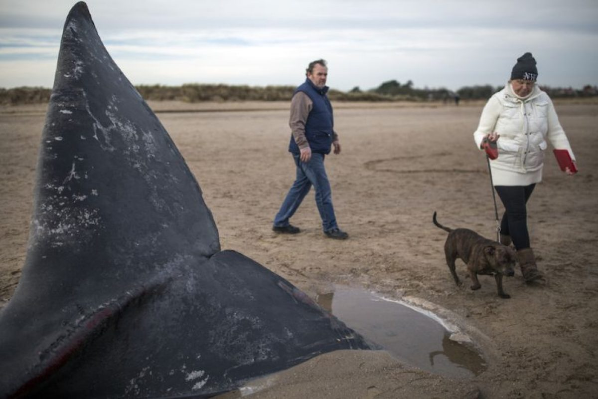 Estas ballenas dentadas pueden comer casi una tonelada de peces y calamares al día. Foto:Getty Images. Imagen Por: