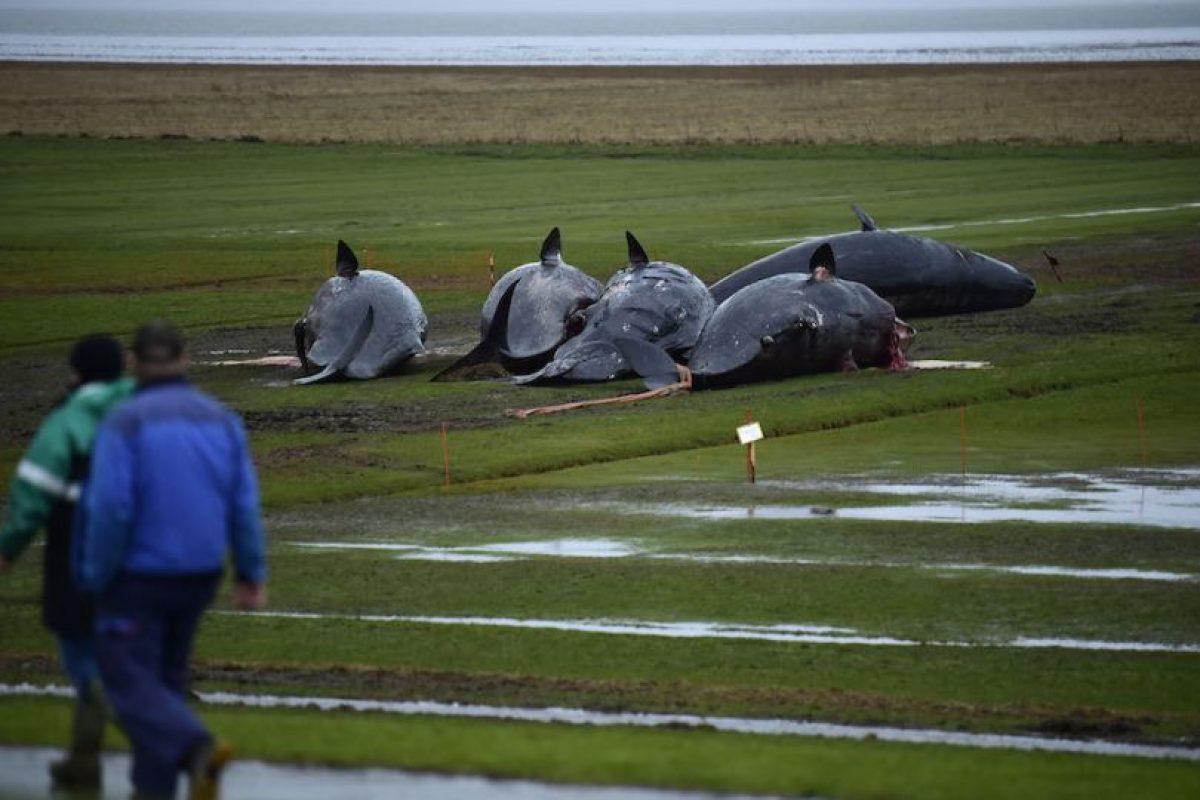 Autopsia reveló que las ballenas encalladas tenían plástico en sus estómagos Foto:Getty Images. Imagen Por: