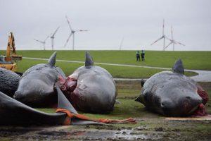 Murieron en la costa de Schleswig-Holstein, en febrero pasado Foto:Getty Images. Imagen Por: