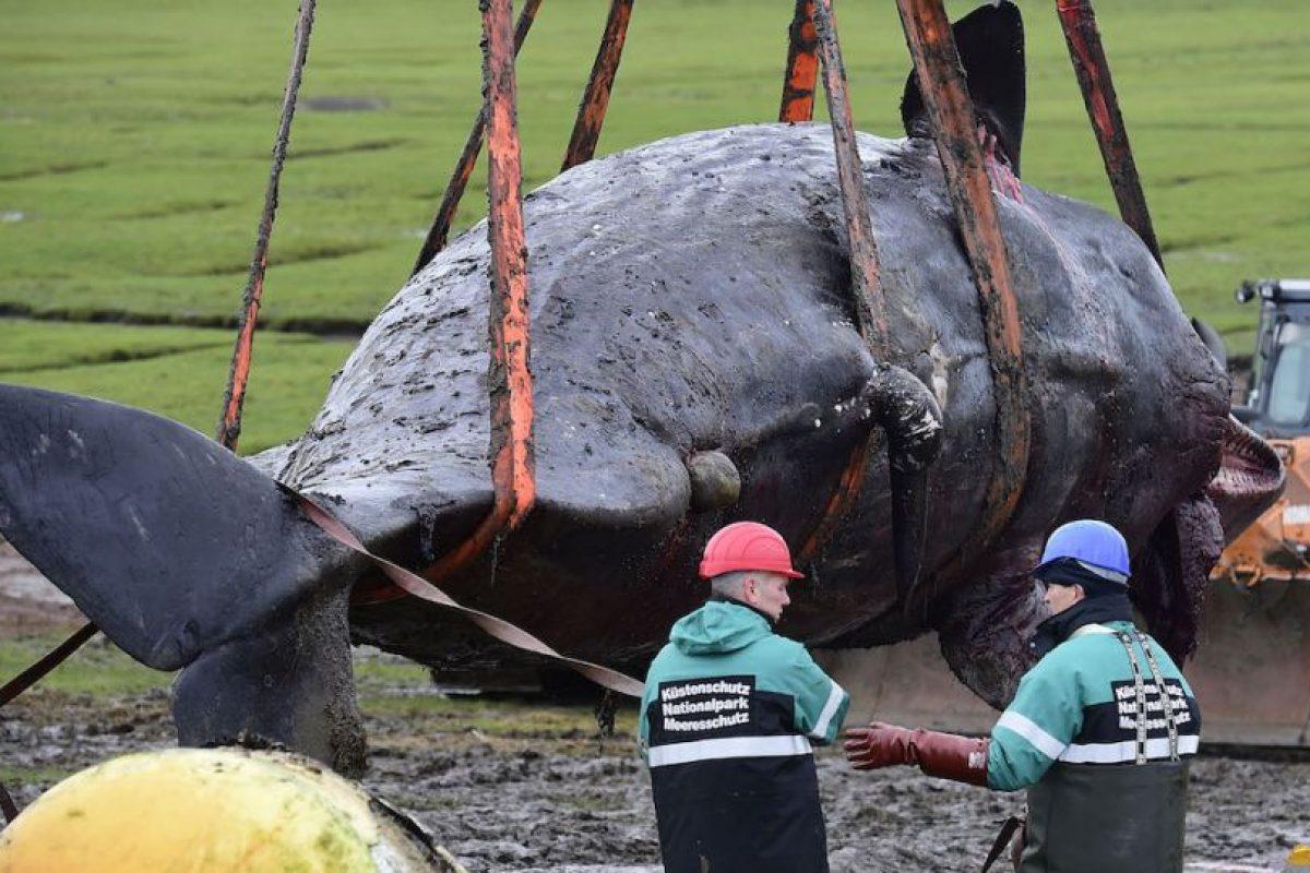 Datos que deben conocer de los cachalotes Foto:Getty Images. Imagen Por: