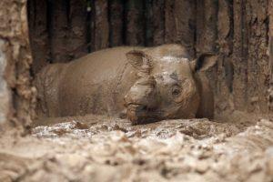 La rinoceronte fue encontrada en una jaula Foto:AFP. Imagen Por: