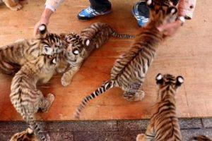 Tienen cierta visión del color y su visión nocturna es muy aguda, pero no puede captar animales sin movimiento. Foto:Getty Images. Imagen Por: