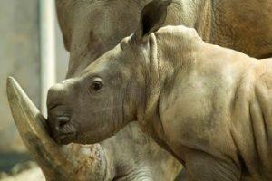 La velocidad de un rinoceronte es de más de 50 km por hora Foto:Getty Images. Imagen Por: