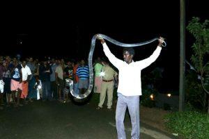 Ha rescatado a 17 King Cobras. Foto:vía Facebook. Imagen Por: