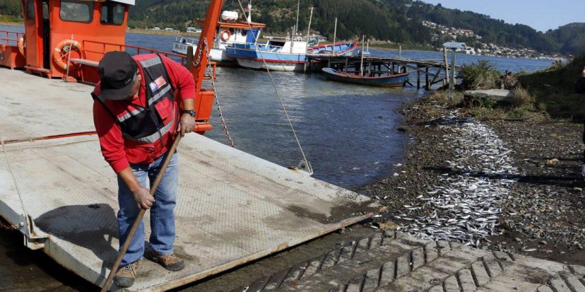 Decretan Zona de Riesgo Sanitario en Queule por varazón de toneladas de sardinas