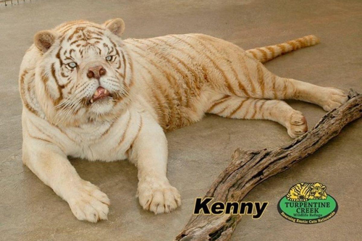 Los tigres blancos son hijos de tigres que son portadores de un gen inusual, necesario para la coloración blanca. Foto:Turpetine Creek Wildlife Refuge. Imagen Por: