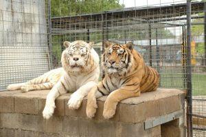 La mayoría viven en zoológicos y parques con fauna especial. Foto:Turpetine Creek Wildlife Refuge. Imagen Por: