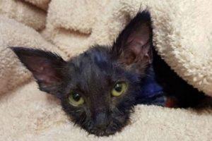 Pitufo, como luego fue nombrado, tenía aproximadamente dos meses de vida cuanod fue rescatado. Foto:facebook.com/NineLivesFoundation. Imagen Por: