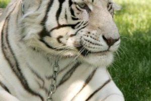 En estado salvaje hay solamente de unos 5.000 a 7.400 tigres Foto:Getty Images. Imagen Por:
