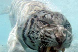 El tigre blanco es un buen nadador, pero un escalador muy pobre. Foto:Getty Images. Imagen Por: