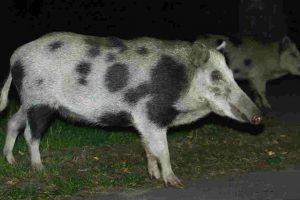 """A los jabalíes también se les conoce como """"cerdos salvajes"""" Foto:Getty Images. Imagen Por:"""