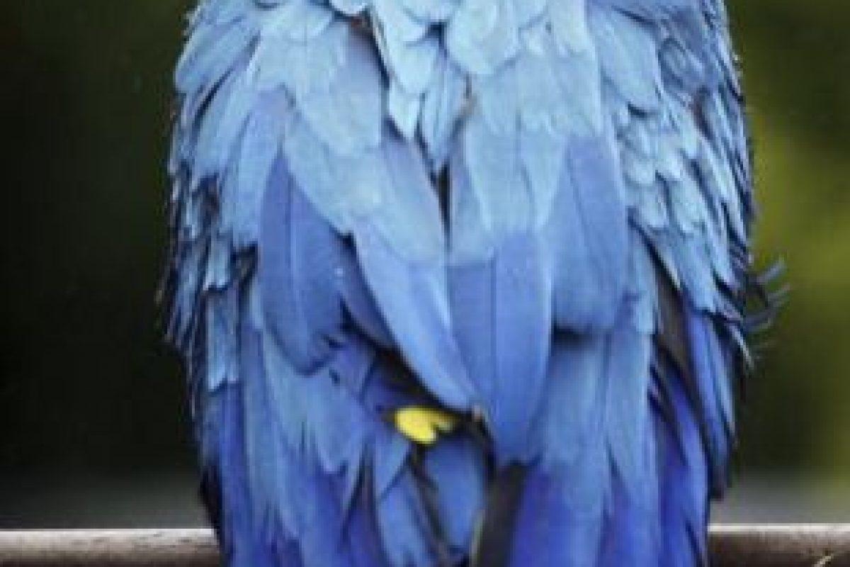 Son un grupo de animales, de aves específicamente que se conocen popularmente con el nombre de loros o de papagayos Foto:Getty Images. Imagen Por: