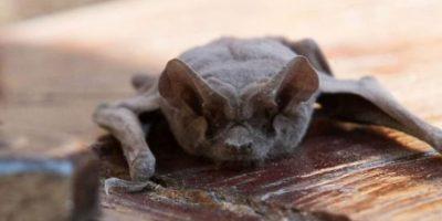 ¿Qué debe hacer si encuentra un murciélago en su casa?