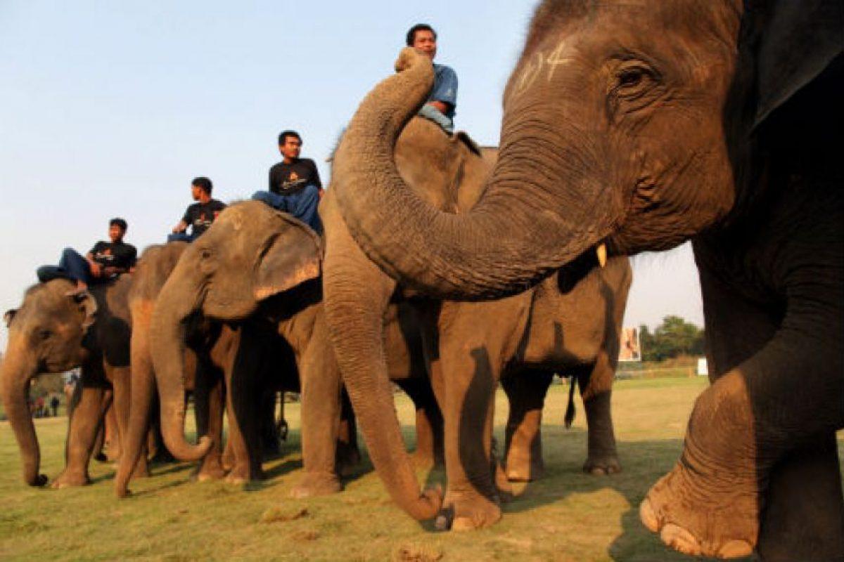 Pueden alcanzar los 7,5 metros (25 pies) de largo y 3,3 metros (11 pies) de alto. Llegan a pesar seis toneladas. Foto:Getty Images. Imagen Por: