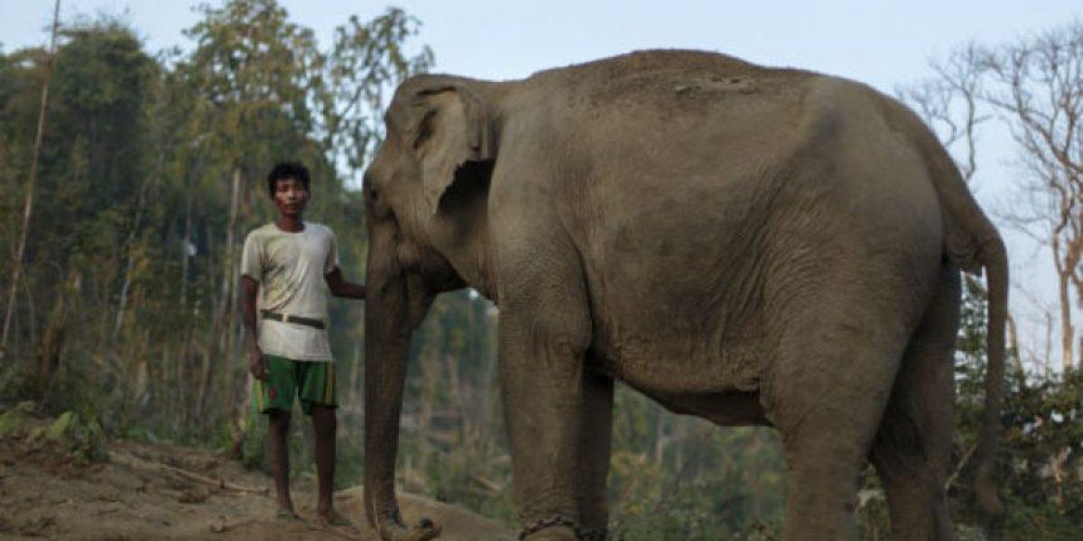 Asia: Elefante muere tras pasar 15 años paseando turistas