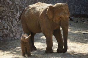 Por lo general, una sola cría nace después de un período de gestación de 22 meses. Foto:Getty Images. Imagen Por: