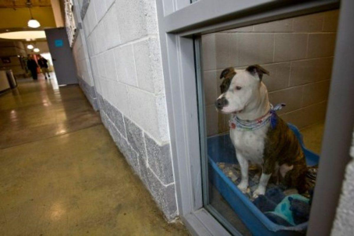 Pitbull, la raza del perro que atacó al niño Foto:Getty Images. Imagen Por:
