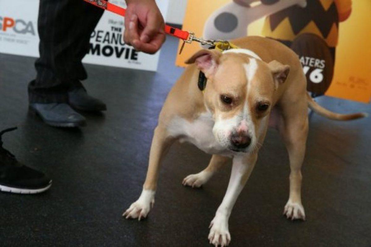 Los aficionados al pitbull valoran su fuerza y agilidad. Foto:Getty Images. Imagen Por: