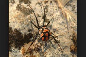 Viuda negra: la picadura de esta araña puede causar la muerte, pero un porcentaje de las mordeduras no es fatal debido al suministro de antivenenos Foto:pixabay.com. Imagen Por: