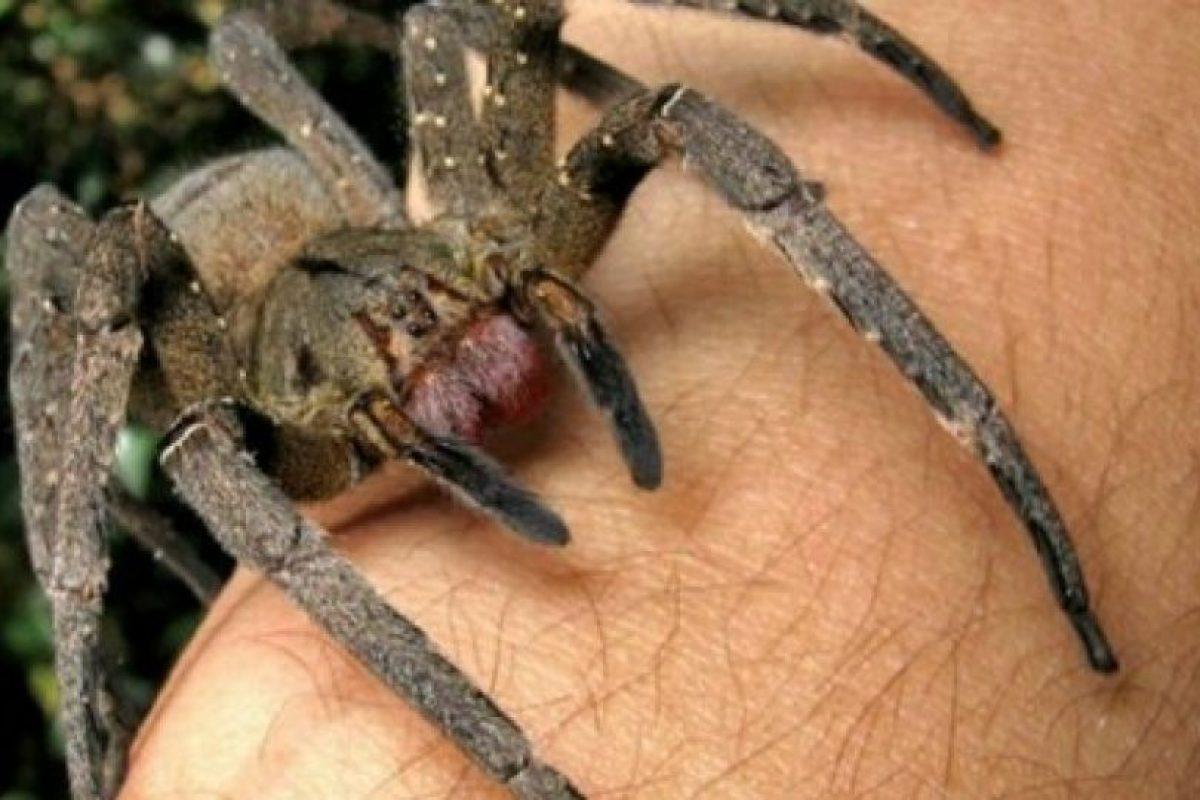 Araña errante brasileña: es una de las especies más agresivas. Su mordida puede ser fatal si no se trata. Foto:wikipedia.org. Imagen Por: