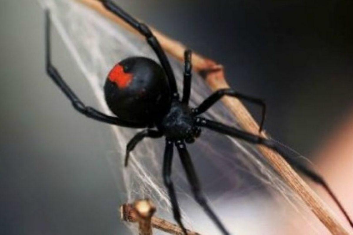 Araña espalda roja: su picadura puede ser muy dolorosa y mortal en algunos casos. Foto:aracnipedia.com. Imagen Por: