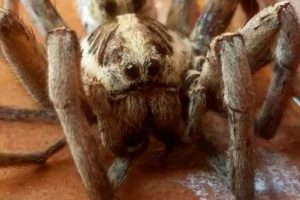 La araña lobo: su picadura puede causar una infección grave que si no se trata puede causar complicaciones serias. Foto:commons.wikimedia.org. Imagen Por: