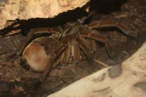 Tarántula Goliat: esta araña es una de las más grandes. Foto:commons.wikimedia.org. Imagen Por: