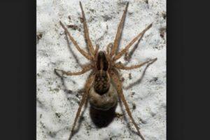 Araña de saco: tiene una citotoxina que puede matar a las células vivas en las áreas afectadas. Y puede dejar una huella desagradable en torno a la picadura. Foto:commons.wikimedia.org. Imagen Por: