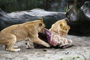 Sus restos sirvieron para alimentar a otros animales. Foto:AFP. Imagen Por:
