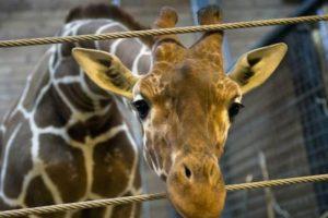 En febrero de 2014 el zoológico de Copenhague, Dinamarca, causó revuelo tras sacrificar a una jirafa de 2 años frente a padres de familia y niños. Foto:AFP. Imagen Por: