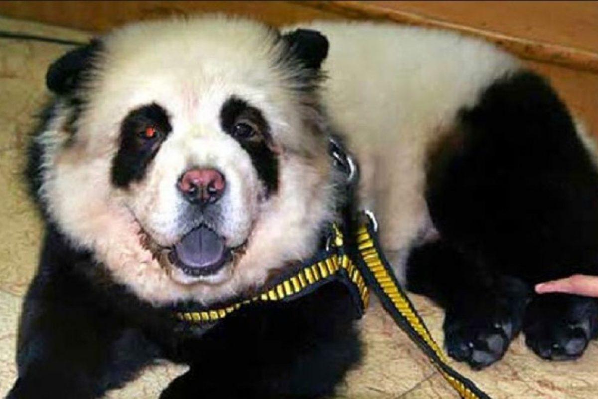 Chow Chow disfrazado de panda Foto:Vía Tumblr. Imagen Por: