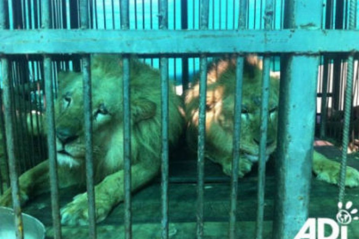 La mayoría tenían sus dientes y garras destrozados, para evitar que se defendieran. Foto:AnimalDefenders. Imagen Por: