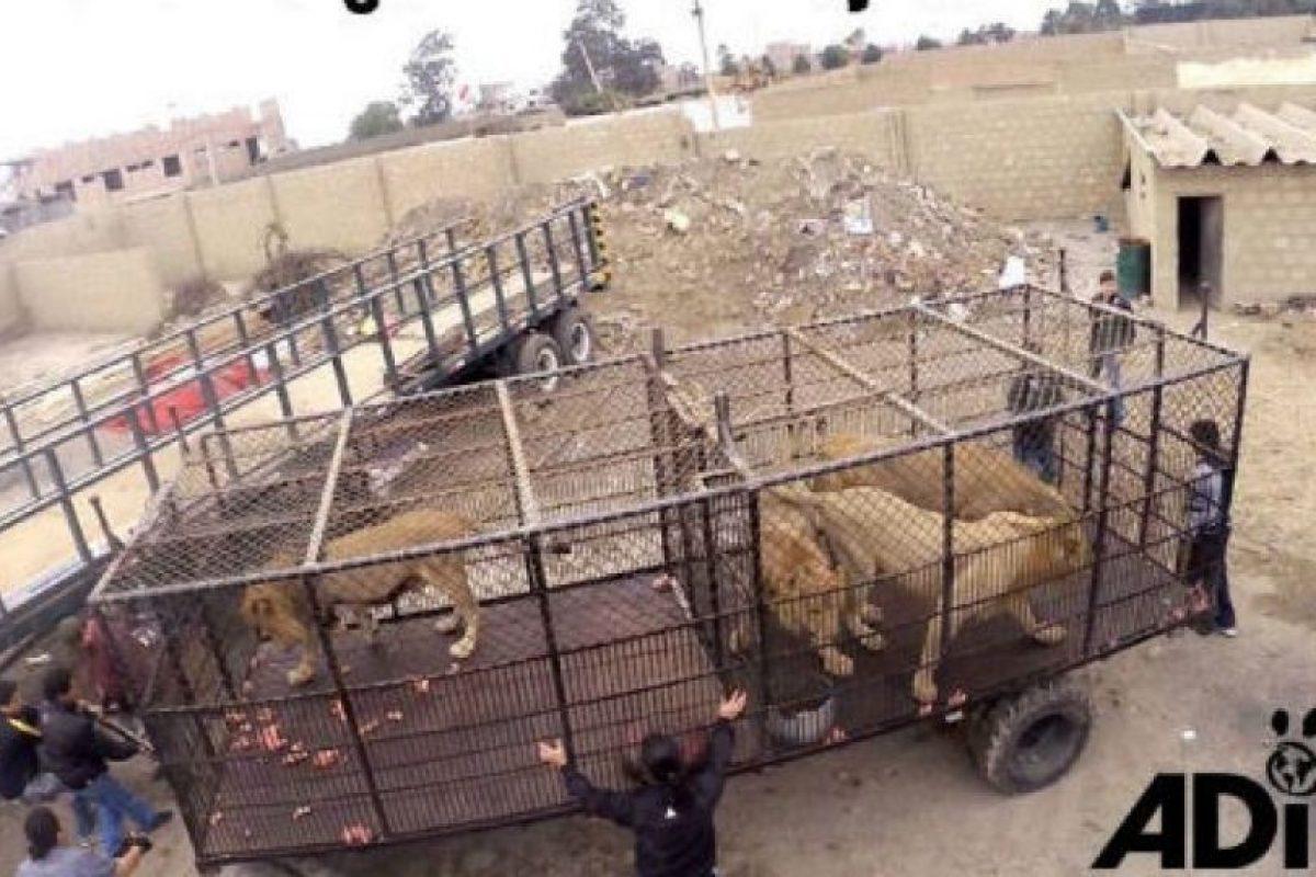 En septiembre de 2015 fue que Animal Defenders International (ADI) rescató a 33 leones. Foto:facebook.com/AnimalDefenders. Imagen Por: