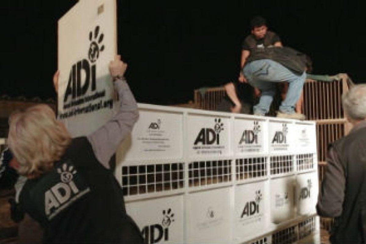 Todos fueron colocados en estas jaulas para llevarlos a Sudáfrica. Foto:facebook.com/AnimalDefenders. Imagen Por: