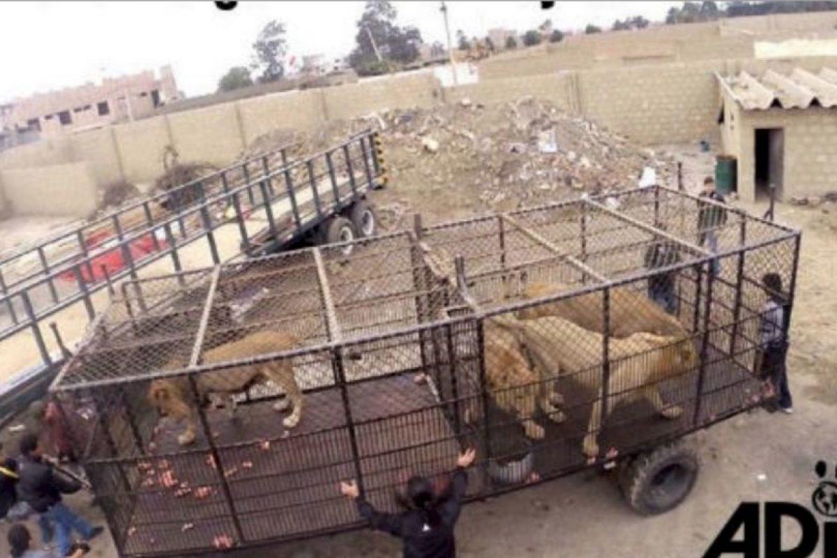En septiembre de 2015 fue cuando Animal Defenders International (ADI) rescató a 33 leones. Foto:vía Facebook/AnimalDefenders. Imagen Por:
