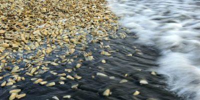 Catástrofe en Los Lagos: toxicidad por marea roja podría permanecer hasta por un año