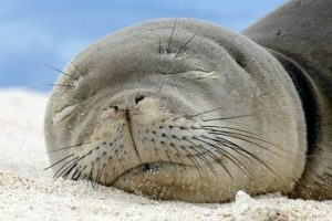La foca monje de Hawai Foto:commons.wikimedia.org. Imagen Por: