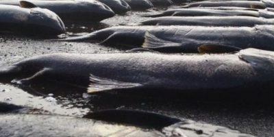 El documento que autorizó lanzar 9 mil toneladas de salmón descompuesto al mar