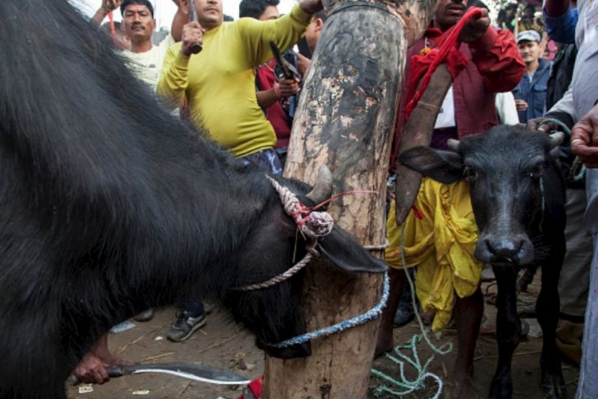 2. Festival Gadhimai Foto:vía AFP. Imagen Por: