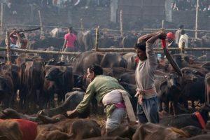 Esta celebración hindú se realiza cada cinco años en Bara, al sur de Nepal, donde devotos matan animales -en su mayoría búfalos, ovejas, gallinas y cabras- como sacrificio a la diosa hindú de la energía. Gadhimai. Foto:vía AFP. Imagen Por: