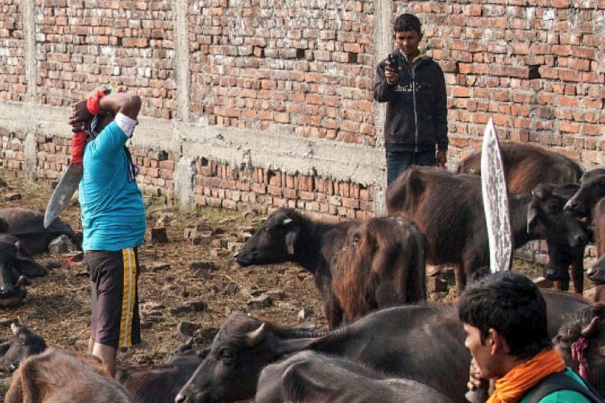 Por otro lado, los animales pequeños que aproximadamente fueron 100 mil, no se contabilizan para el sacrificio. Foto:vía AFP. Imagen Por: