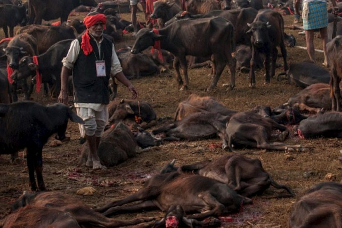 """Sacerdotes del Templo de Gadhimai mencionaron a la institución activista """"Igualdad Animal"""", que sólo se cuentan los búfalos muertos, los cuales el año pasado fueron 20 mil. Foto:vía AFP. Imagen Por:"""