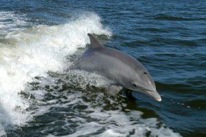 Cada año, en las zonas costeras de las islas Feroe en Dinamarca se lleva a cabo la matanza de miles de delfines debido a la celebración de adolescentes que llegan a la edad adulta. Foto:vía AFP. Imagen Por: