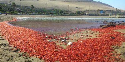 Seremi de Medio Ambiente sobre langostinos en Arica: