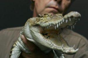 Datos que deben conocer de los cocodrilos Foto:Getty Images. Imagen Por: