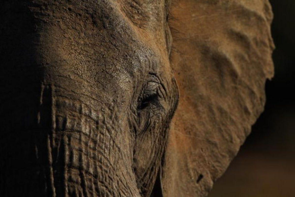 Datos que deben conocer sobre los elefantes Foto:Getty Images. Imagen Por: