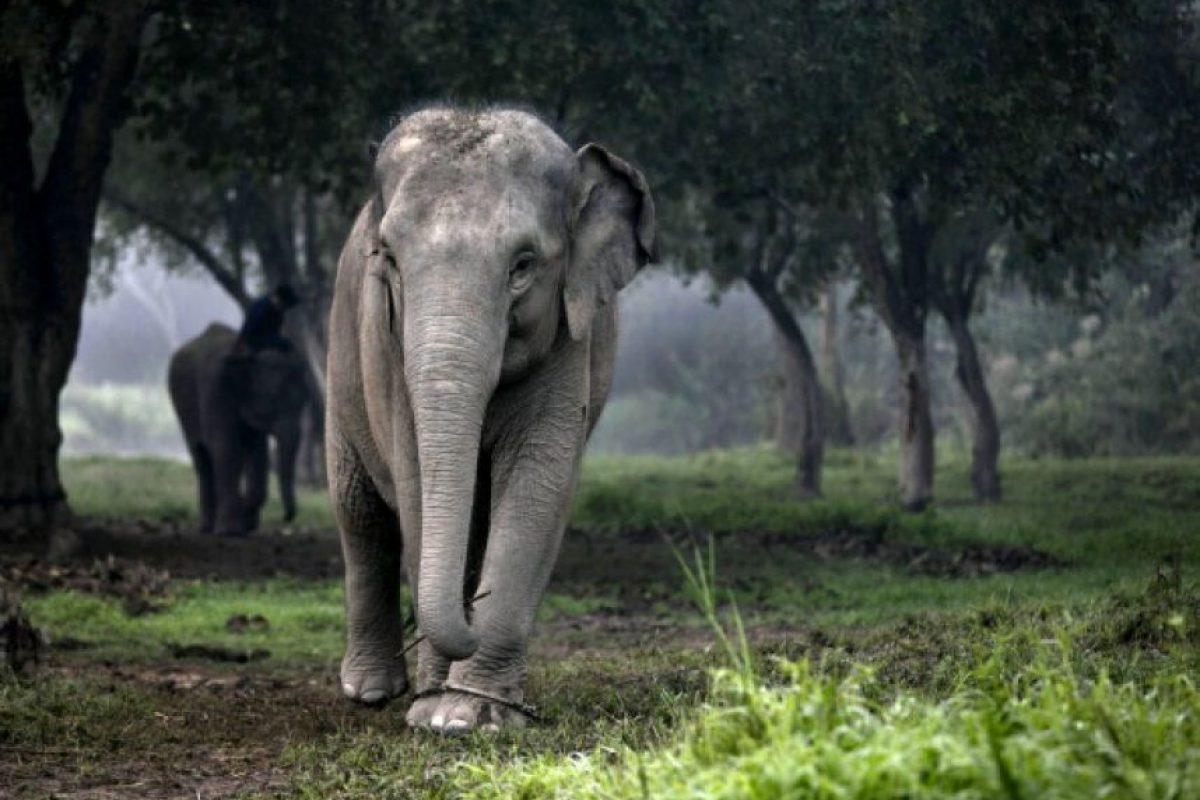 Típicamente viven de 50 a 70 años, pero el record del elefante más viejo duro 82 años. Foto:Getty Images. Imagen Por: