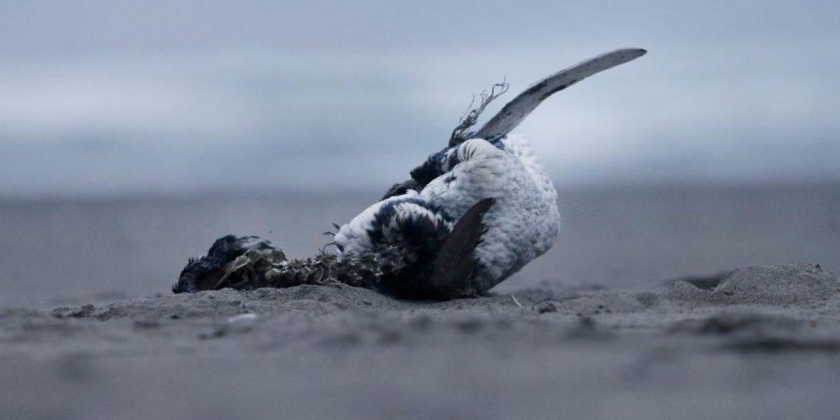 Denuncian que Armada ha limpiado playas para minimizar mortandad de fauna marina